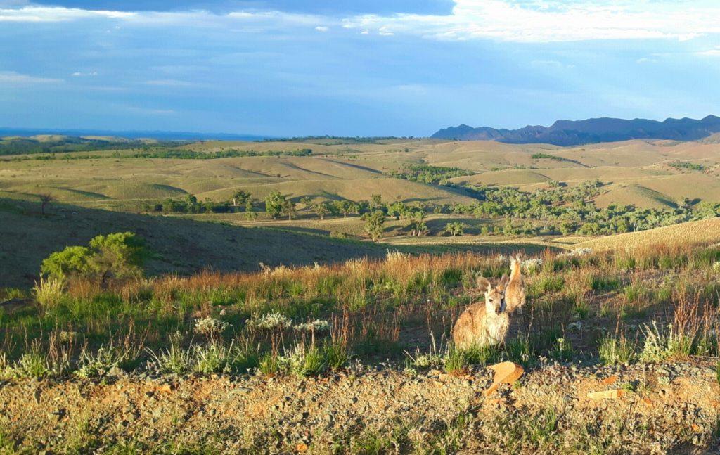 PJ in Australien (Adelaide) - Freizeitaktivitäten - Kangaroo in Flinder Ranges